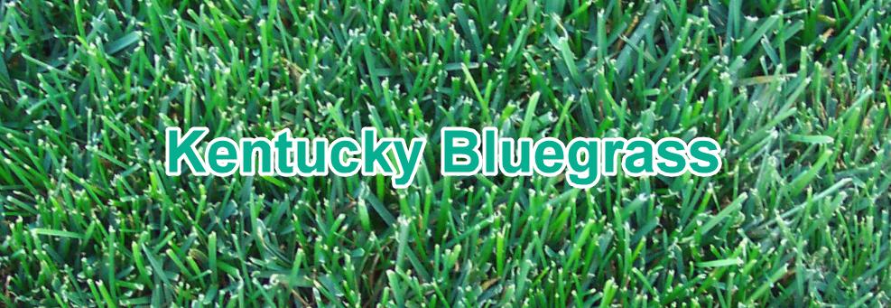 Kentucky Bluegrass