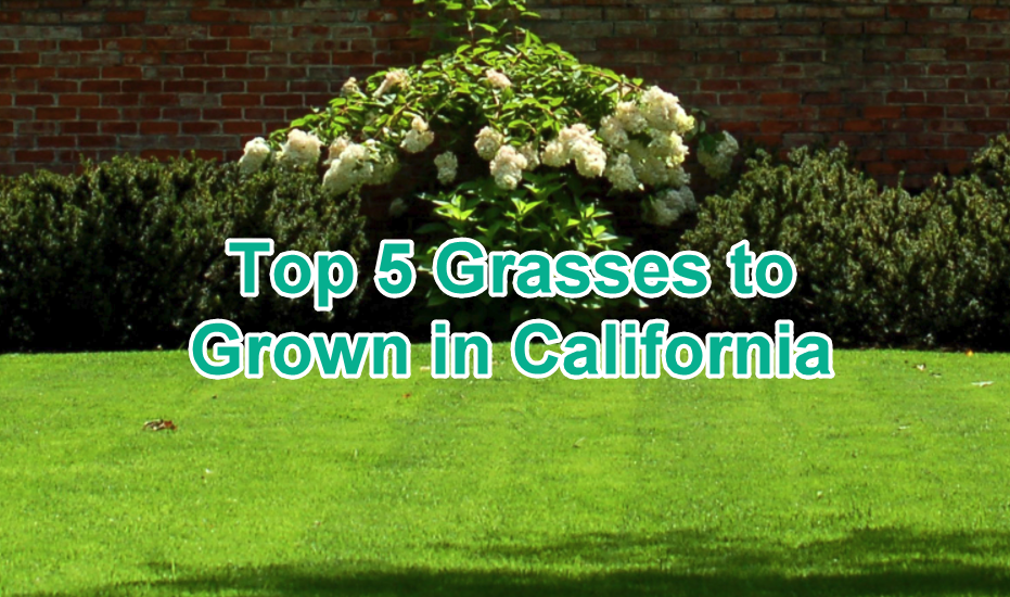 top 5 grasses to grow in california